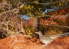 This roadrunner in Southern Utah is always on the lookout for a tasty meal or something that wants to eat it for a tasty meal.  royalty free stock images