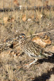 Roadrunner With Sparrow in Mouth Royalty Free Stock Image