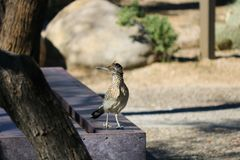 A roadrunner standing on a bench royalty free stock photography