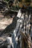 Roadrunner standing on cactus ribs Royalty Free Stock Photos