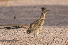 Roadrunner Standing Royalty Free Stock Images