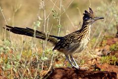 Roadrunner Stands alone in morning Sun royalty free stock images