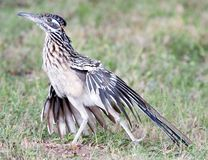 Roadrunner Stretch. Greater Roadrunner (Geococcyx californianus) stretching. Shot at Buchanan Dam, Texas royalty free stock photography