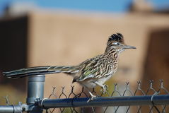 Roadrunner sur la barrière de Chainlink Photo stock