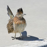 Roadrunner sur la bordure de trottoir Image libre de droits