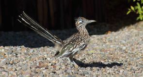 Roadrunnervogel, der um eine New-Mexiko abq Nachbarschaft während eines heißen Sommertages geht lizenzfreie stockbilder