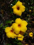 Allamanda flowers in bloom or popped popcorn. Allamanda flowers in bloom  popped. allamanda bush flowers royalty free stock photography
