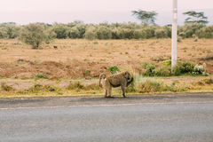 Roadside baboon. Royalty Free Stock Images