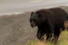 Roadside Black Bear. A skinny black bear wanders along a road looking for food Royalty Free Stock Photography