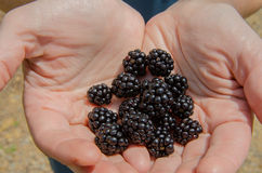 Roadside Blackberry Picking. A handful of blackberries plucked from bushes along the Blue Ridge Parkway royalty free stock image