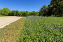 Roadside Bluebonnets. Bluebonnet flowers grow along the road in Austin, TX Stock Photo
