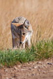 Roadside Coyote. A wild coyote at the side of the road.  Shot in the Alberta badlands near Medicine Hat, Alberta, Canada Stock Image