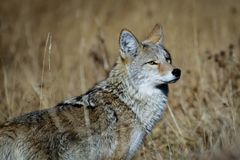 Yellowstone Coyote. Roadside coyote, Yellowstone National Park. Photo taken in October 2017.   Canis latrans Stock Photos