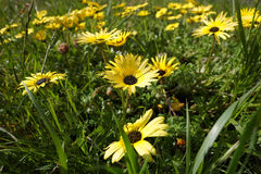 Roadside daisies. Yellow daisies in field of green grass Stock Photos