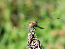 Roadside dragonfly (Sympetrum flaveolum). Is a common species Royalty Free Stock Photos