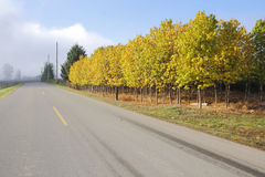 Roadside Elm Trees in Autumn. Brightly colored Elm trees line up beside a road during the Fall season stock images