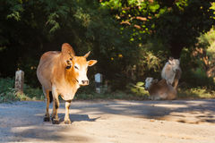 Roadside grazing Royalty Free Stock Images