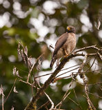 The Roadside Hawk Royalty Free Stock Photos