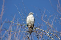 Roadside hawk Royalty Free Stock Photos