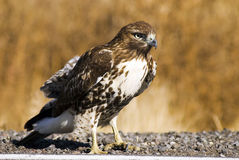 Roadside Hawk. A hawk standing on the white line one the side of a road. Not afraid of passing cars at all royalty free stock photography