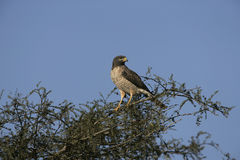 Roadside hawk, Buteo magnirostris Royalty Free Stock Photo