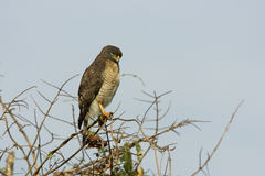 Roadside hawk, Buteo magnirostris Royalty Free Stock Photos