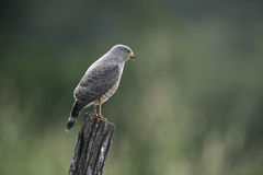 Roadside hawk, Buteo magnirostris Stock Photo