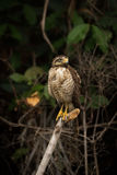 Roadside hawk on dead branch looking right Royalty Free Stock Photos