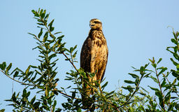 Roadside Hawk perched in a tree Stock Images