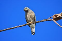 Roadside Hawk Perched on a Wire Royalty Free Stock Photos