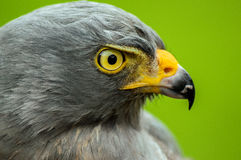 Roadside Hawk Portrait Stock Photo