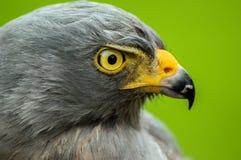 Roadside Hawk Portrait. Closeup portrait of the face of a roadside hawk Stock Photo