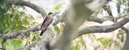 Roadside hawk with prey felled under claws stock image