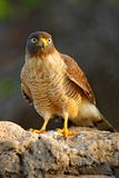 Roadside hawk, Rupornis magnirostris, bird on the tree, Pantanal, Brazil, Wildlife scene from tropic forest. Forest in background. Stock Images