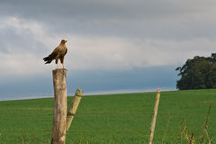 Roadside hawk royalty free stock image