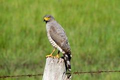 Roadside hawk Stock Image