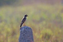 Roadside Hawk on termite mound Stock Photo