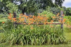 Roadside Lilies and Fence Royalty Free Stock Images