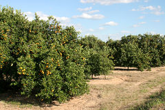 Roadside Orange Grove Royalty Free Stock Images