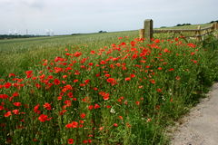 Roadside poppies. A profusion of roadside poppies surrounding a farmers gate in rural Oxfordshire Stock Images