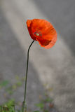 Roadside poppy - Flanders poppy. Red. Royalty Free Stock Images