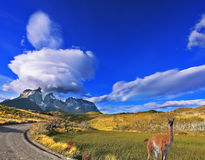 At the roadside posing graceful guanaco Stock Photography
