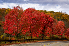 Roadside red maple trees. Red maple trees in fall foliage along country road Royalty Free Stock Photography