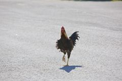 Roadside Rooster Stock Photos