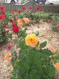 Roadside rose flowers stock photography