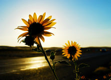 Roadside Sunflowers. Sunflowers at the side of the highway, in the sunset, Napa Valley, California Stock Photo