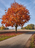 Roadside tree in autumn Stock Photography