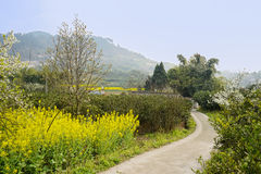 Roadside village in rape flowers and pear blossom on sunny sprin Royalty Free Stock Photography