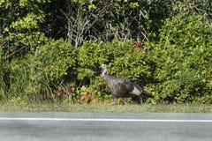 Roadside Wild Turkey Royalty Free Stock Image
