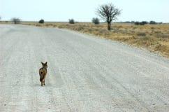 Roadtrip of a jackal. A jackal following a road through etosha NP Royalty Free Stock Photo